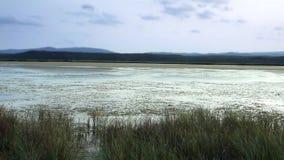 Κάλαμοι στο κρεβάτι λιμνών στο σούρουπο φιλμ μικρού μήκους