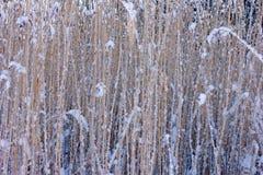 Κάλαμοι το χειμώνα Στοκ Εικόνες