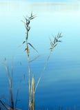 Κάλαμοι φθινοπώρου εκτός από τη λίμνη στην Κίνα στοκ φωτογραφίες με δικαίωμα ελεύθερης χρήσης