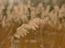 Κάλαμος, εκλεκτική εστίαση Poaceae Στοκ Εικόνα