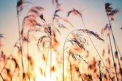 Κάλαμος ενάντια στο ηλιοβασίλεμα στοκ εικόνες