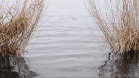 Κάλαμος σε έναν ποταμό απόθεμα βίντεο