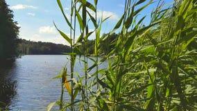 Κάλαμος στην ακτή μιας λίμνης απόθεμα βίντεο