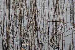 Κάλαμος στο ασημένιο νερό Στοκ φωτογραφίες με δικαίωμα ελεύθερης χρήσης