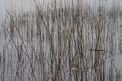Κάλαμος στο ασημένιο νερό Στοκ εικόνα με δικαίωμα ελεύθερης χρήσης