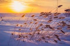 Κάλαμος στο ηλιοβασίλεμα Στοκ εικόνες με δικαίωμα ελεύθερης χρήσης