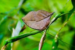 Κάλυψη πεταλούδων - ο πορτοκαλής oakleaf ή νεκρή πεταλούδα φύλλων Στοκ Φωτογραφίες