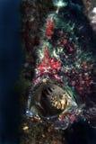 Κάλυψη Stonefish, νησί Mabul, Sabah Στοκ Εικόνες