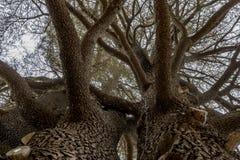 Κέδροι του Λιβάνου που αυξάνεται μαζί να ανατρέξει Στοκ Εικόνα