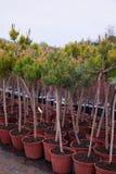Κέντρο καταστημάτων κήπων με πολλά από τα νέα κωνοφόρα δέντρα στοκ φωτογραφία με δικαίωμα ελεύθερης χρήσης