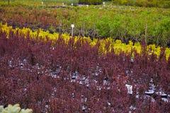 Κέντρο καταστημάτων κήπων με πολλά από τα νέα κωνοφόρα δέντρα στοκ εικόνες
