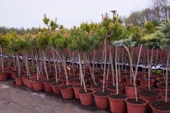 Κέντρο καταστημάτων κήπων με πολλά από τα νέα κωνοφόρα δέντρα στοκ εικόνα με δικαίωμα ελεύθερης χρήσης