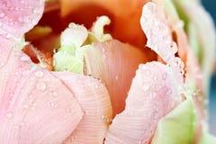 Κέντρο μιας ρόδινης τουλίπας της Angelique Στοκ φωτογραφίες με δικαίωμα ελεύθερης χρήσης