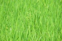 Κέντρο του πλαισίου (επιλεγμένη εστίαση) των πράσινων συγκομιδών ρυζιού στο ρύζι Στοκ Εικόνες