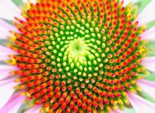 Κέντρο του όμορφου coneflower που παρουσιάζει σχέδιο fibonacci στοκ φωτογραφία με δικαίωμα ελεύθερης χρήσης