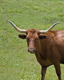 κέρατο αγελάδων μακρύ στοκ φωτογραφία με δικαίωμα ελεύθερης χρήσης