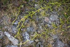 Κέρατο Clubmoss αρσενικού ελαφιού που σέρνεται πέρα από την πορεία Στοκ Φωτογραφία