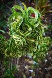 Κέρατο Croton 'Ram's, variegatum Codiaeum Στοκ φωτογραφίες με δικαίωμα ελεύθερης χρήσης