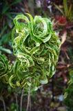 Κέρατο Croton 'Ram's, variegatum Codiaeum Στοκ εικόνα με δικαίωμα ελεύθερης χρήσης