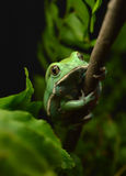 Κέρινος βάτραχος πιθήκων (sauvagii phyllomedusa) στοκ εικόνες