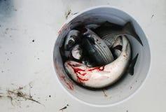 κέφαλος ψαριών κάδων Στοκ εικόνες με δικαίωμα ελεύθερης χρήσης