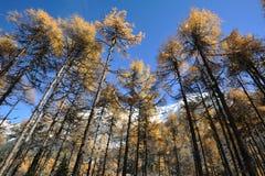 Κέδρος φθινοπώρου κάτω από το μπλε ουρανό. Στοκ φωτογραφία με δικαίωμα ελεύθερης χρήσης