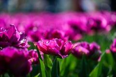 Κήποι λουλουδιών στις Κάτω Χώρες κατά τη διάρκεια της άνοιξη Κλείστε επάνω της άνθισης flowerbeds των τουλιπών, υάκινθοι, νάρκισσ στοκ φωτογραφία με δικαίωμα ελεύθερης χρήσης
