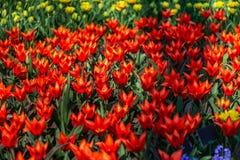 Κήποι λουλουδιών στις Κάτω Χώρες κατά τη διάρκεια της άνοιξη Κλείστε επάνω της άνθισης flowerbeds των τουλιπών, υάκινθοι, νάρκισσ στοκ εικόνες