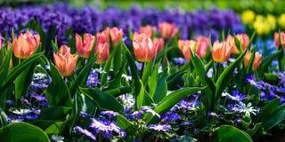 Κήποι λουλουδιών στις Κάτω Χώρες κατά τη διάρκεια της άνοιξη Κλείστε επάνω της άνθισης flowerbeds των τουλιπών, υάκινθοι, νάρκισσ στοκ εικόνα με δικαίωμα ελεύθερης χρήσης