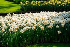 Κήποι λουλουδιών στις Κάτω Χώρες κατά τη διάρκεια της άνοιξη Κλείστε επάνω της άνθισης flowerbeds των τουλιπών, υάκινθοι, νάρκισσ στοκ εικόνα