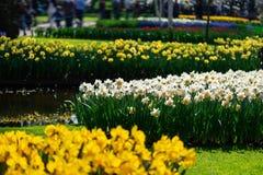 Κήποι λουλουδιών στις Κάτω Χώρες κατά τη διάρκεια της άνοιξη Κλείστε επάνω της άνθισης flowerbeds των τουλιπών, υάκινθοι, νάρκισσ στοκ φωτογραφίες