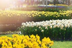 Κήποι λουλουδιών στις Κάτω Χώρες κατά τη διάρκεια της άνοιξη Κλείστε επάνω της άνθισης flowerbeds των τουλιπών, υάκινθοι, νάρκισσ στοκ φωτογραφία