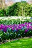 Κήποι Keukenhof στις Κάτω Χώρες κατά τη διάρκεια της άνοιξη Κλείστε επάνω της άνθισης flowerbeds των τουλιπών, υάκινθοι, νάρκισσο στοκ εικόνες