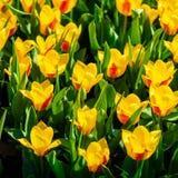 Κήποι Keukenhof στις Κάτω Χώρες κατά τη διάρκεια της άνοιξη Κλείστε επάνω της άνθισης flowerbeds των τουλιπών, υάκινθοι, νάρκισσο στοκ φωτογραφίες