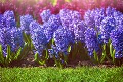Κήποι Keukenhof στις Κάτω Χώρες κατά τη διάρκεια της άνοιξη Κλείστε επάνω της άνθισης flowerbeds των τουλιπών, υάκινθοι, νάρκισσο στοκ φωτογραφία με δικαίωμα ελεύθερης χρήσης