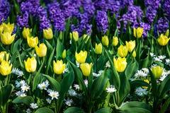 Κήποι Keukenhof στις Κάτω Χώρες κατά τη διάρκεια της άνοιξη Κλείστε επάνω της άνθισης flowerbeds των τουλιπών, υάκινθοι, νάρκισσο στοκ εικόνες με δικαίωμα ελεύθερης χρήσης