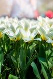 Κήποι Keukenhof στις Κάτω Χώρες κατά τη διάρκεια της άνοιξη Κλείστε επάνω της άνθισης flowerbeds των τουλιπών, υάκινθοι, νάρκισσο στοκ εικόνα