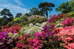 Κήποι Rhododendren και αζαλεών στοκ φωτογραφία