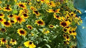 Κήπος άνθισης λουλουδιών rudbeckia αφής χεριών
