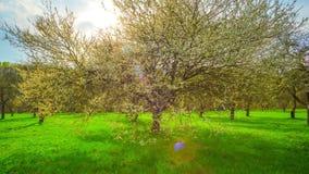 Κήπος άνοιξη, ανθίζοντας κεράσι και σύννεφα βροχής, πανοραμικό χρόνος-σφάλμα φιλμ μικρού μήκους