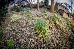 Κήπος άνοιξη με τα daffodils Στοκ Εικόνα