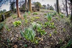 Κήπος άνοιξη με τα daffodils Στοκ Εικόνες