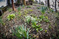 Κήπος άνοιξη με τα daffodils Στοκ εικόνες με δικαίωμα ελεύθερης χρήσης