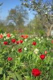 Κήπος άνοιξη με τις κόκκινες τουλίπες και τα άσπρα daffodils Στοκ φωτογραφία με δικαίωμα ελεύθερης χρήσης