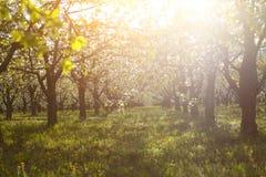 Κήπος δέντρων κερασιών σε έναν χορτοτάπητα με να λάμψει ήλιων Στοκ Φωτογραφίες