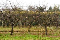 Κήπος δέντρων της Apple Στοκ Εικόνες