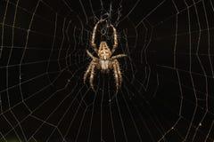 Κήπος-αράχνη αραχνών lat Καλές αράχνες araneomorph Araneus της οικογένειας των αραχνών Araneidae σφαίρα-Ιστού σε ένα μαύρο υπόβαθ Στοκ Εικόνες