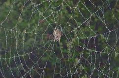 Κήπος-αράχνη στον αράχνη-Ιστό 11 Στοκ Εικόνα