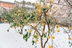 Κήπος λεμονιών το χειμώνα Δέντρο λεμονιών με τα κίτρινα λεμόνια στο sno Στοκ Φωτογραφία