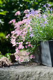 Κήπος εξοχικών σπιτιών - όμορφα λουλούδια Στοκ εικόνες με δικαίωμα ελεύθερης χρήσης